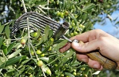 pegne a olives.jpg