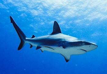 13 - Europa Requin gris de récif 350 x 240.jpg