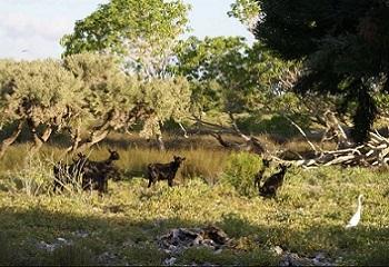 22 - Europa Chèvres noire 350 x 240.JPG