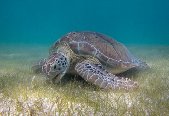 41 - Europa Green_Sea_Turtle_grazing_seagrass 350 x 240.jpg
