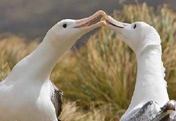 66 - Amsterdam couple d'albatros 350 x 240.JPG