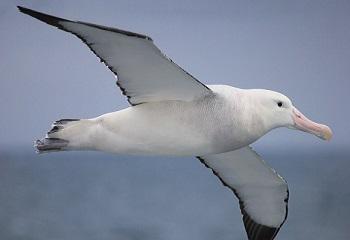 74 - Amsterdam albatros-antarctique 350 x 240.jpg