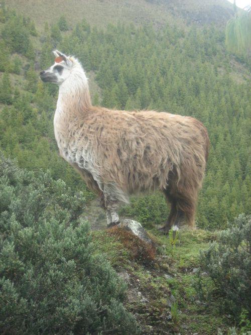 Certains lamas alpagas sont appréciés pour leur laine...