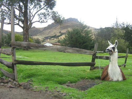 D'autres sont dressés pour garder les troupeaux de moutons