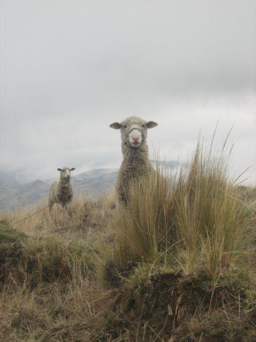 Des moutons aux laines trés fines et chaudes
