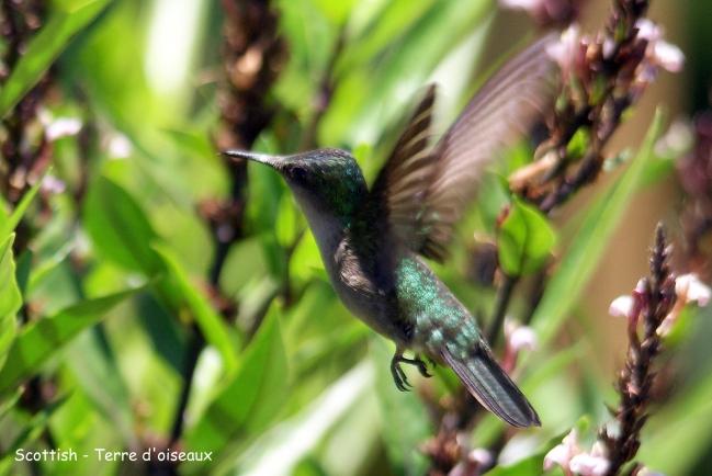Colibri falle-vert6.JPG