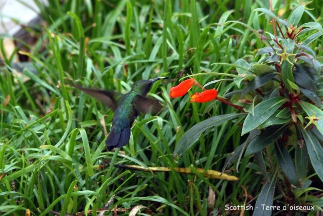 Colibri falle-vert2.JPG