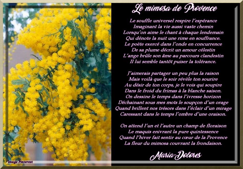 Le mimosa de Provence