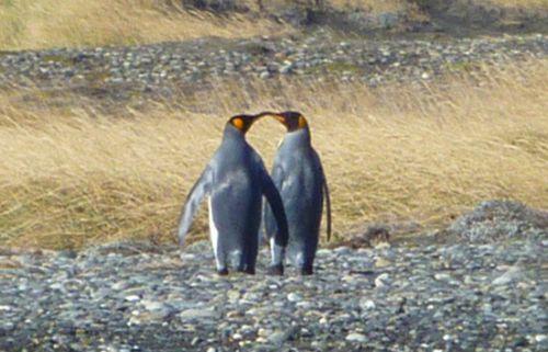 Les pinguinos Rey amoureux