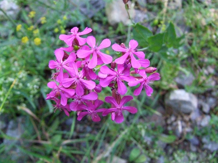 Silene armeria (Caryophyllacées) - Vallon de Peyron-Roux Molines en Ch. - 25.07.07 - 2.JPG