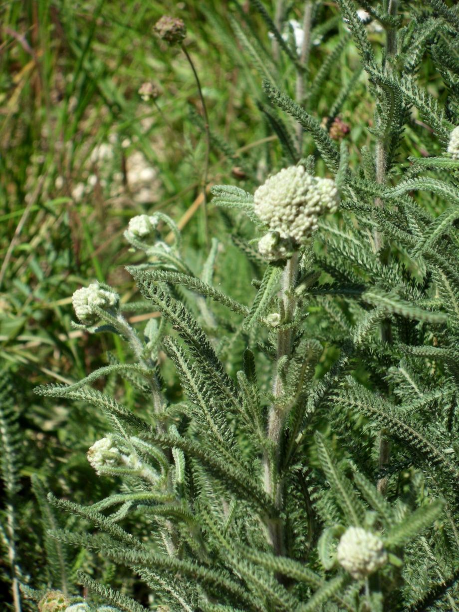 Achillea millfolium [Achillée millefeuilles] - Astéracées - Vallon de Jean le Maître - 04.06.2010 - 1.JPG