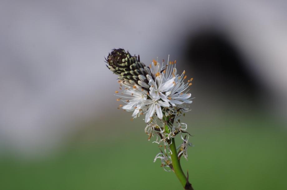 Asphodelus albus (Asphodèle blanc) - Montée des Coins - Valgaudemar - 04.07.2013 - 2.JPG