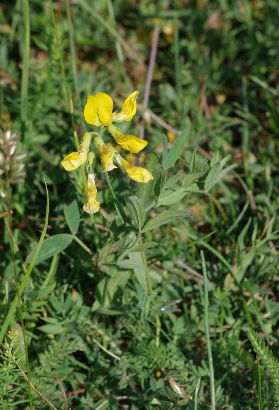 Lathyrus pratensis (Gesse des prés) - En montant vers l'Hauteur - Le Chiran - 11.07.2013 - 2.JPG