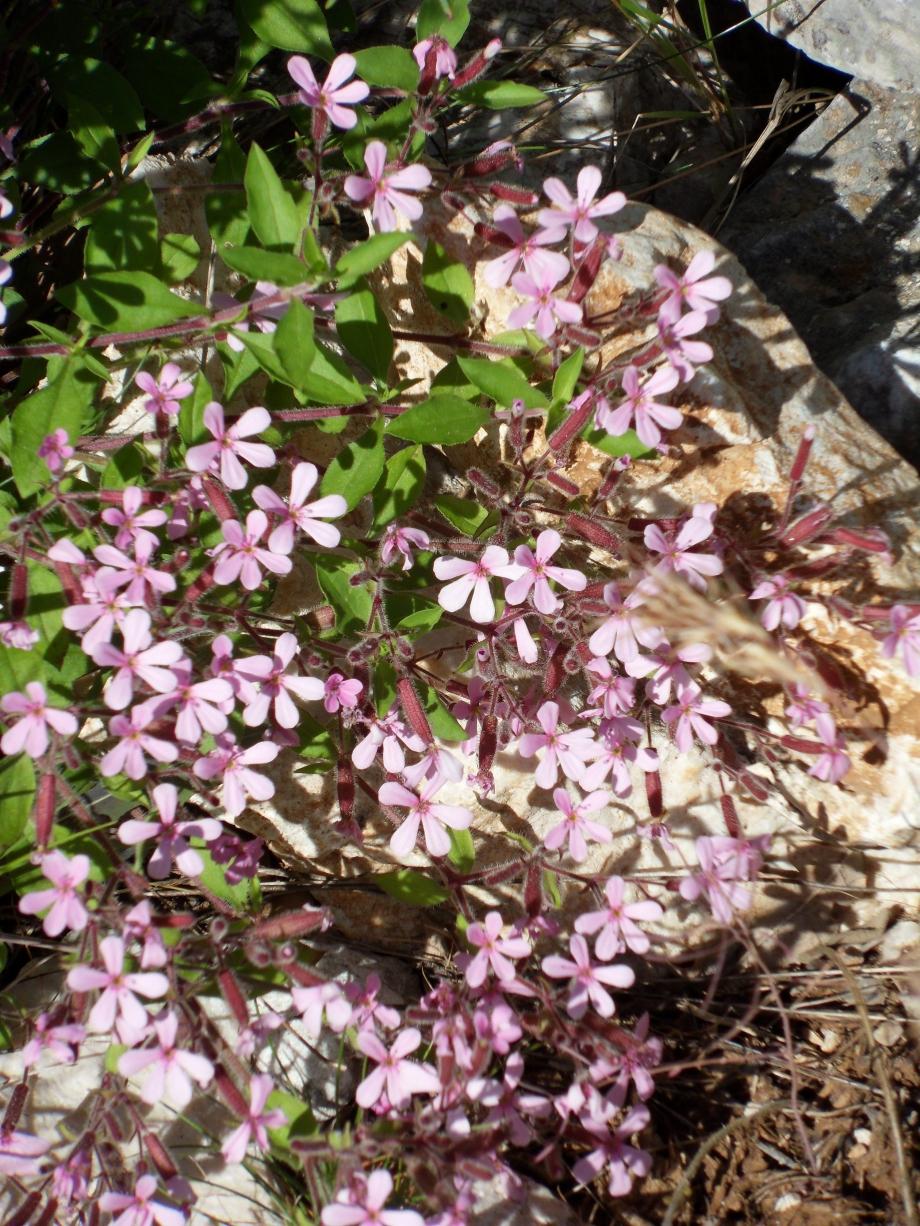 Saponaria ocymoides [Saponaire de Montpellier] - Caryophyllacées - Sainte-Victoire - 29.05.10 - 1.JPG
