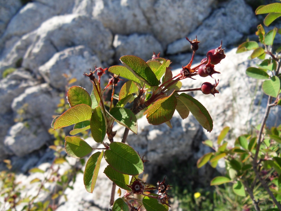 Amelanchier ovalis [Amelanchier] - Rosacées - Sainte-Victoire - 29.05.10 - 1.JPG