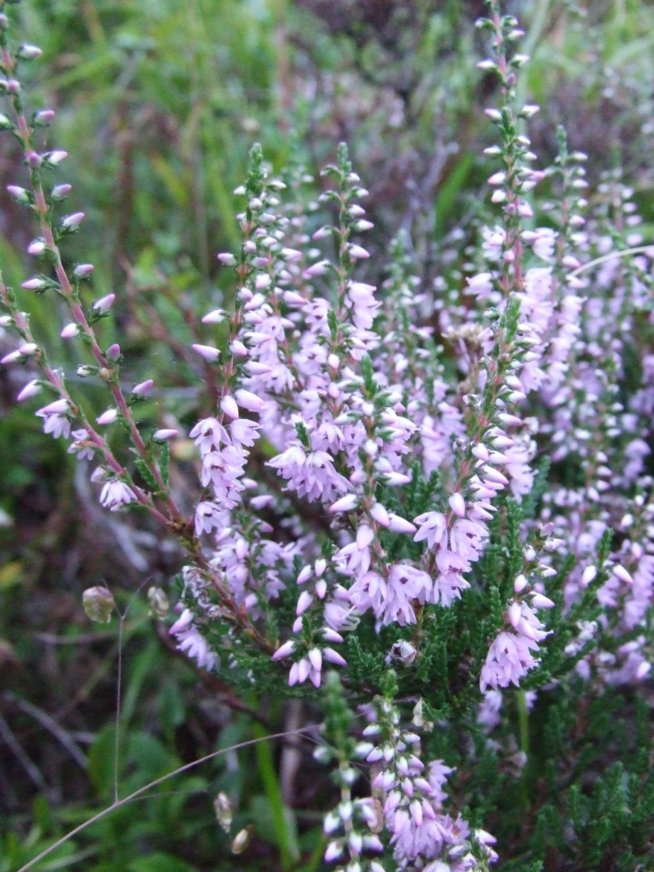 Calluna vulgaris (Ericacées) - Montée de Buchardet -  Haute route du Vieux Chaillol - 26.07.07 - 3.JPG