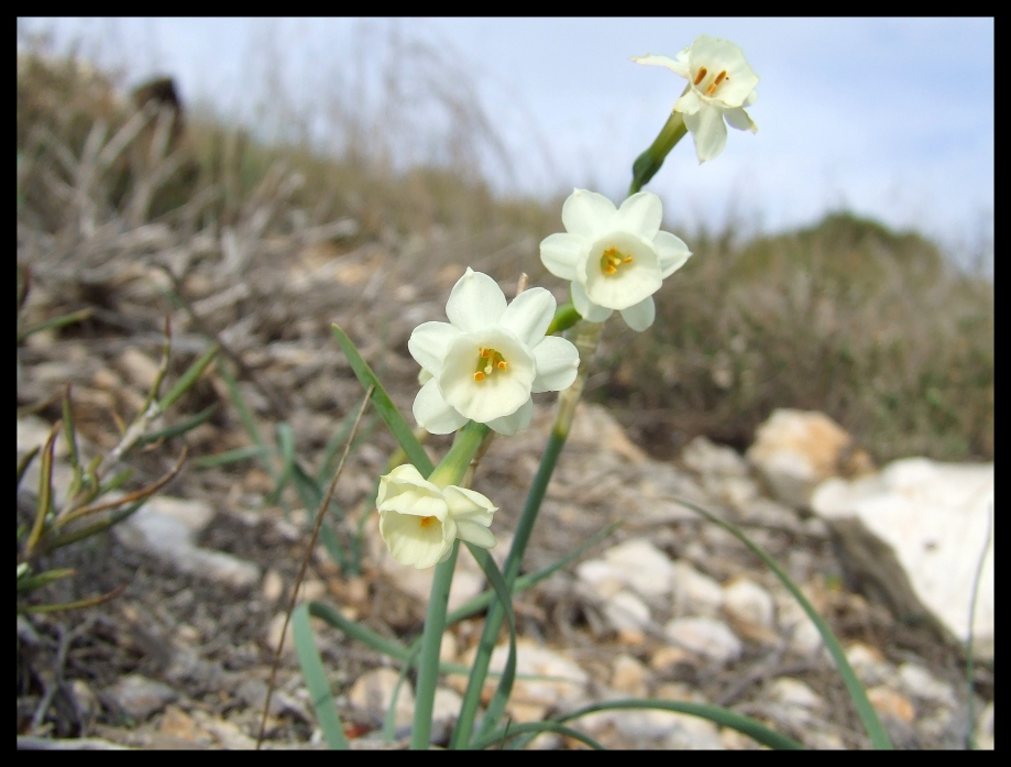 Narcissus ...  - Le Pigeonnier - 06.03.08 - 2.JPG