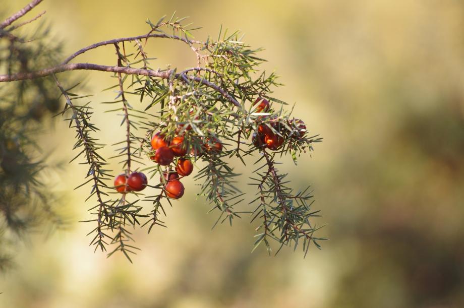 Juniperus oxycedrus (Genevrier oxycèdre ou Cade) et ses baies - Plan d'Aups - 17.12.2011.JPG