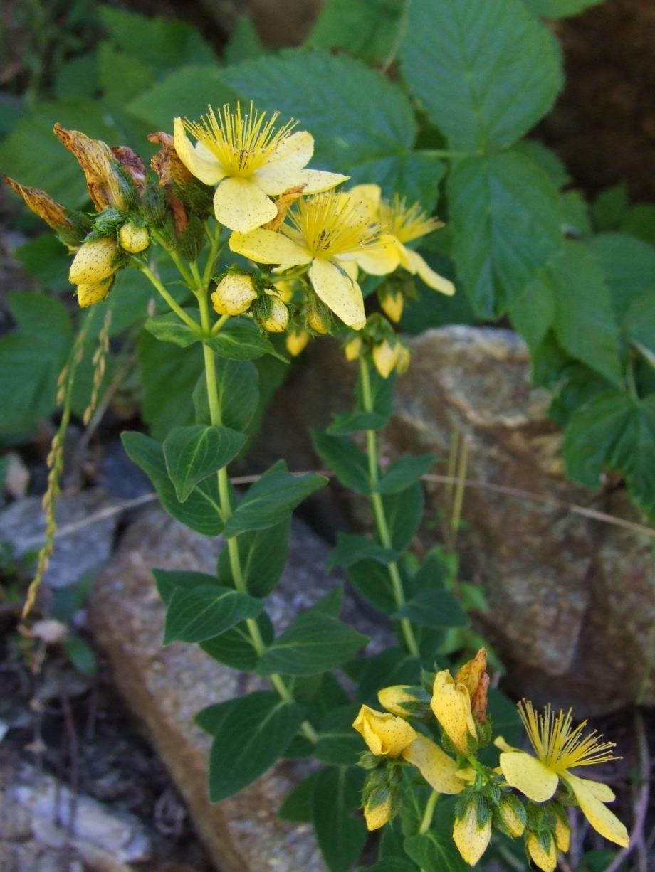 Hypericum richeri (Hypericacées) - Vallon de Peyron-Roux Molines en Ch. - 25.07.07 - 1.JPG