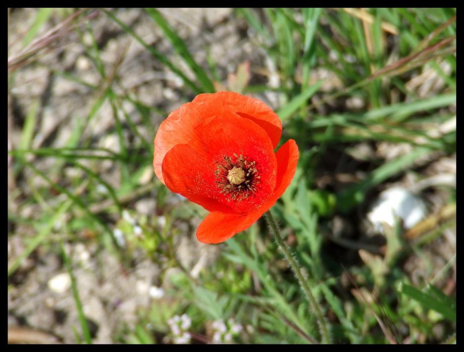 Papaver dubium - Plaine de St-Martin - 24.04.08 - 2.JPG