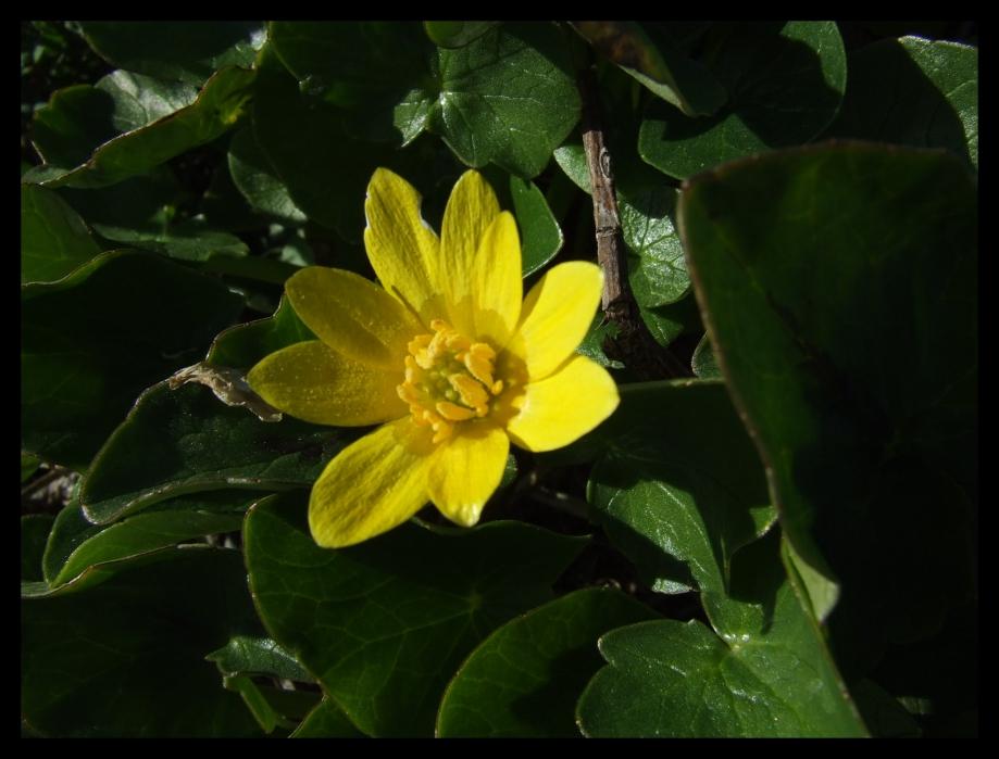 Ranunculus ficaria (Renonculacées) - Les Lamberts - 03.04.06.JPG