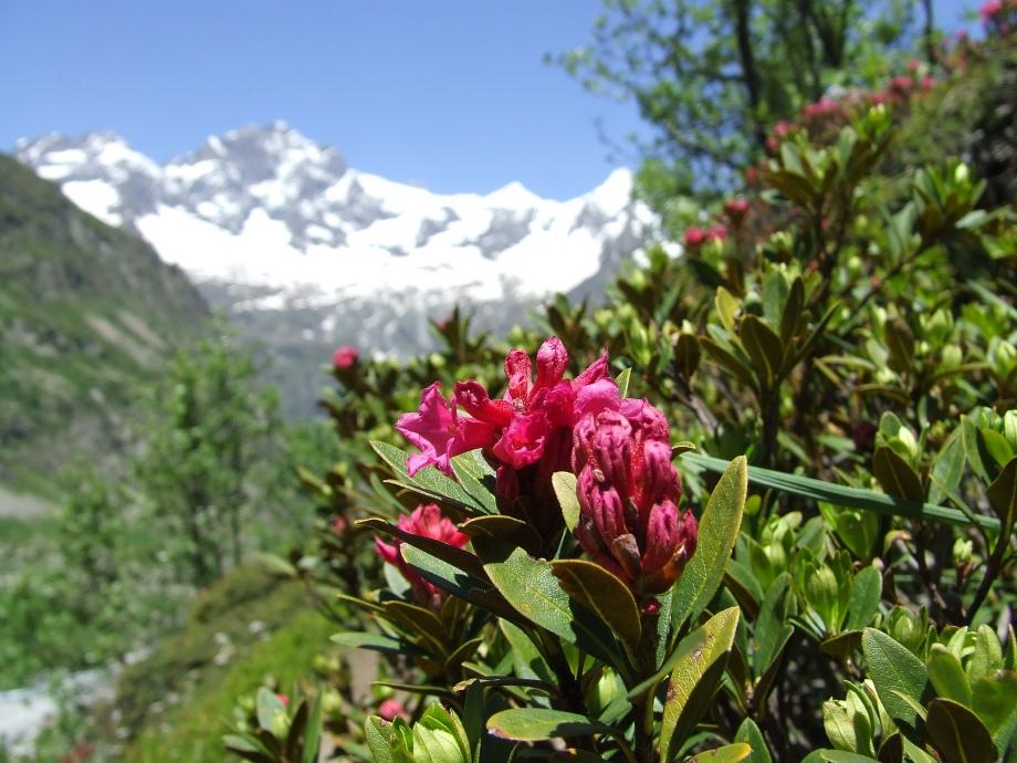 Rhododendron ferrugineum - Sentier du Ministre - 19.06.08.JPG