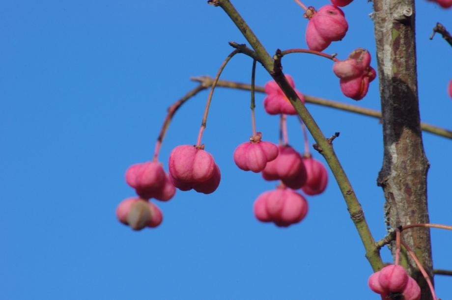 Fruits toxiques de Eonymus europaeus - Puits de la Pallière - 05.11.2012 - 4.JPG