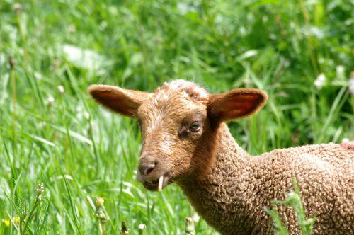Mouton clopeur !!