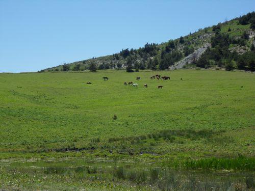 Chevaux en liberté - Montagne d'Aujour