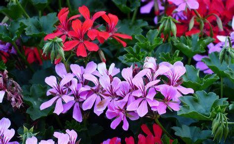 Geraniums_lierres.jpg