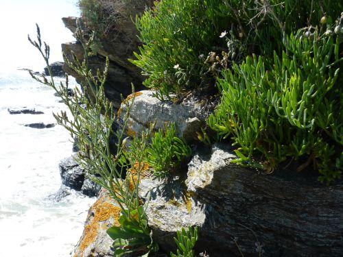 Flore typique des falaises exposées