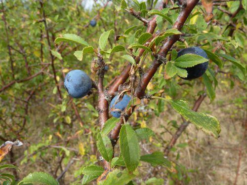 L'épine noire en fruits
