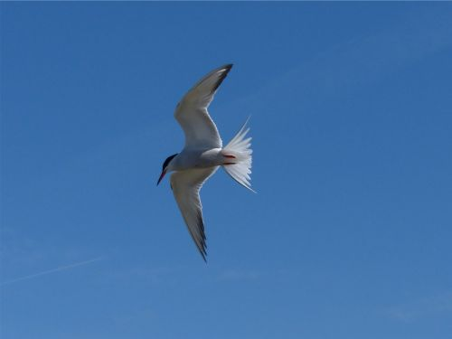 La sterne pierregarin en vol