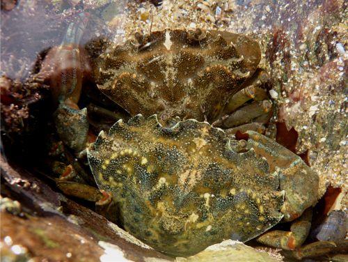 Le crabe vert