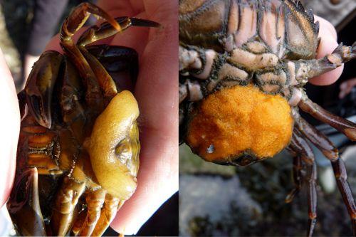 La sacculine et les oeufs du crabe vert