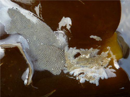 Le membranipore et l'écorce pileuse