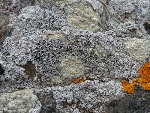 Le lichen gris encroûtant