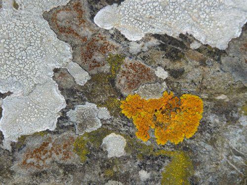 Le lichen gris encroûtant et la xanthorie