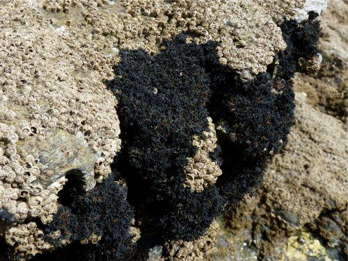 Le lichen pygmée