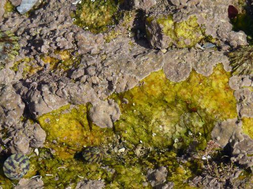 Phymatolithon lenormandii algue encroûtante