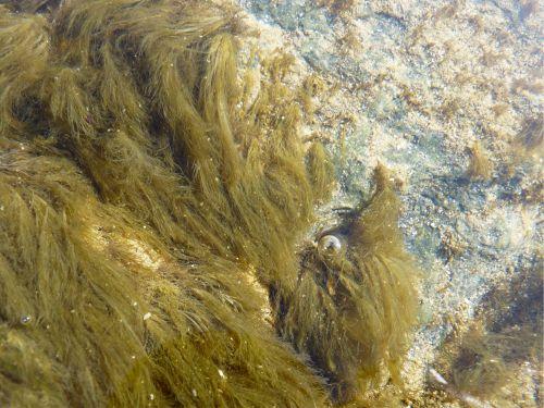 La cladophore rupestre