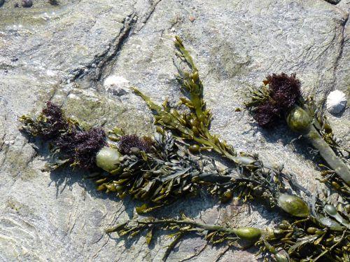 Polysiphonia lamosa sur le goémon noir