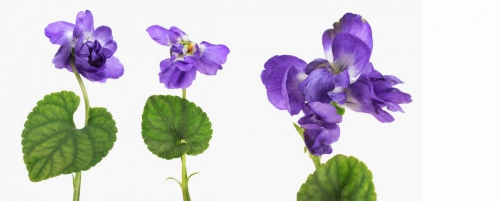 Viola-parma.jpg