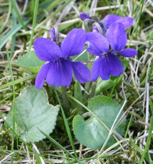 Viola-odorata1.jpg