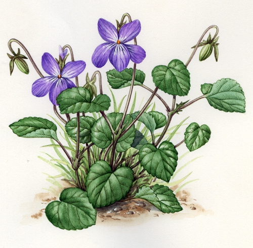Common Dog-violet.jpg