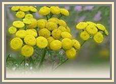 fleur de plante de curry.jpg