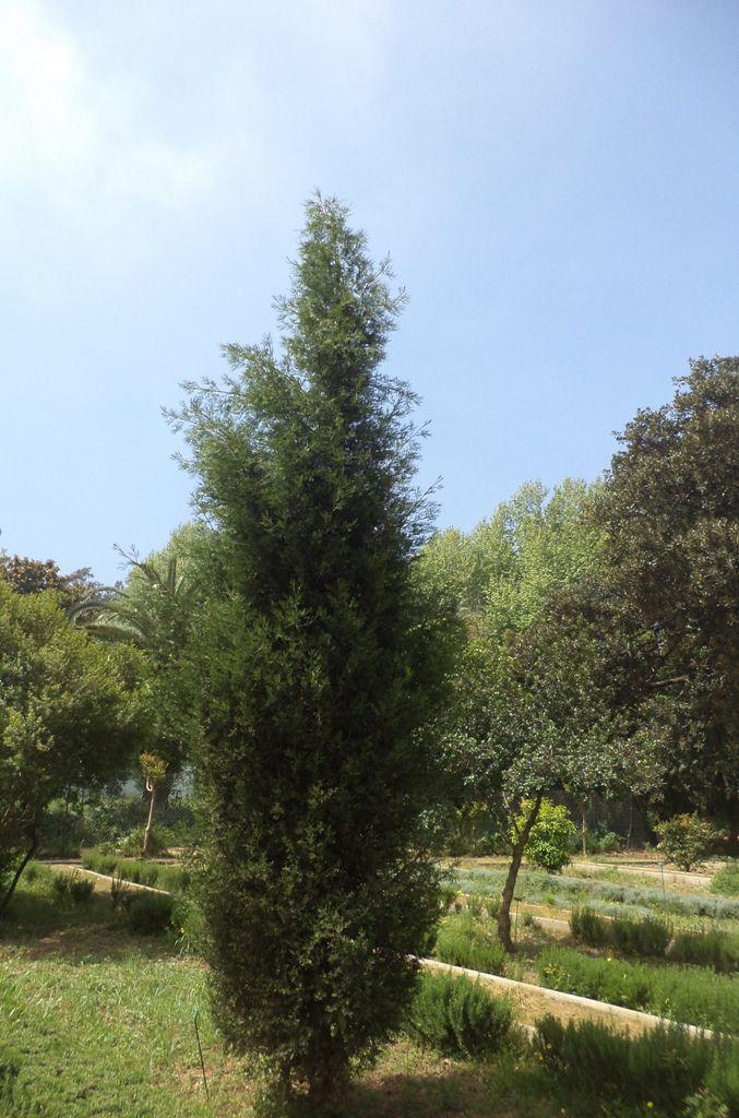 Jeune pin du Tassili