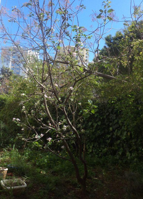Le pommier en fleurs, mai 2014