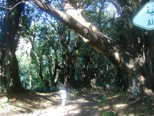 Ficus du Queenslands (Australie) acclimatés au jardin d'essai du Hamma (Alger)