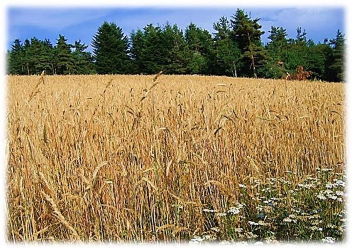 Grain de blé 2015 3.jpg